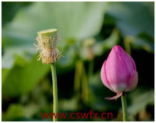 描写莲花和莲子的句子