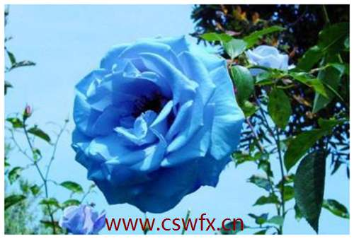 描写冬天玫瑰花的句子