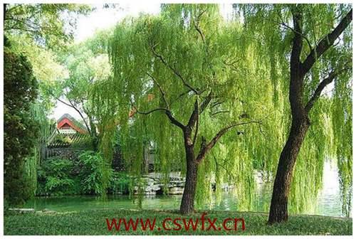 描写春雨和柳树的句子