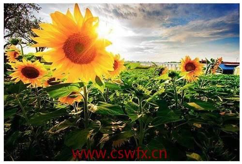 描写太阳向日葵的句子