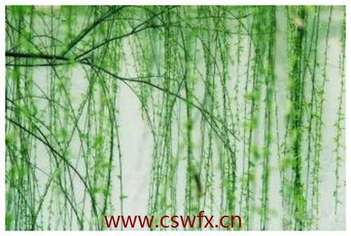 描写春天柳树的长句子