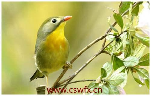 描写鸟鸣的句子