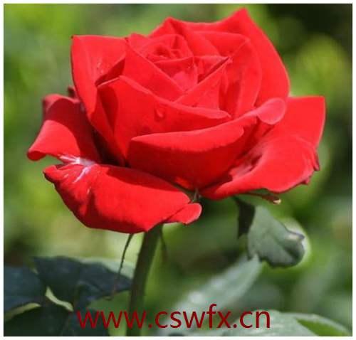 描写红玫瑰的爱情句子 句子大全 第1张
