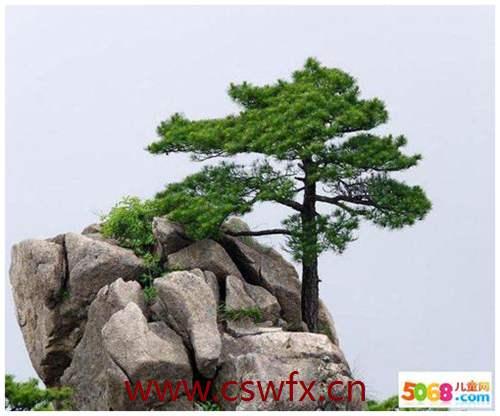 描写松树树的优美句子