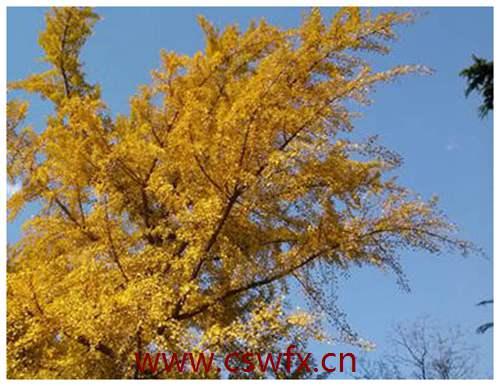 描写秋天银杏树叶的优美句子