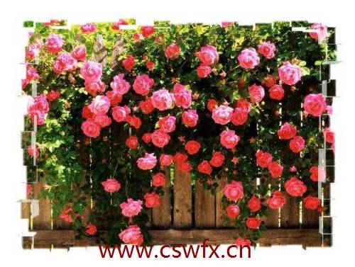 描写蔷薇花的句子
