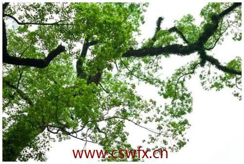 描写树木的句子