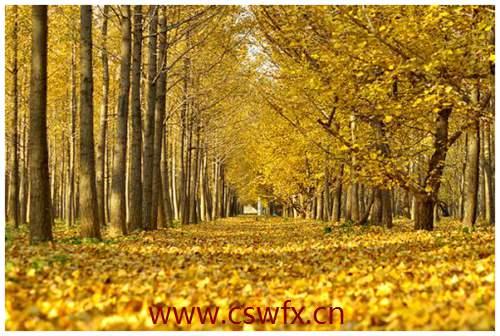 描写秋天的大树的句子