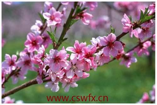 描写春天的花盛开的唯美句子