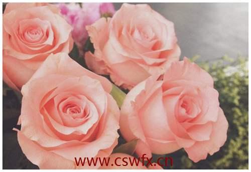 描写玫瑰花的的简单句子 句子大全 第1张