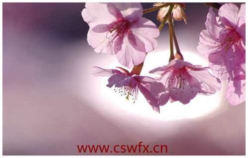 描写的樱花的句子