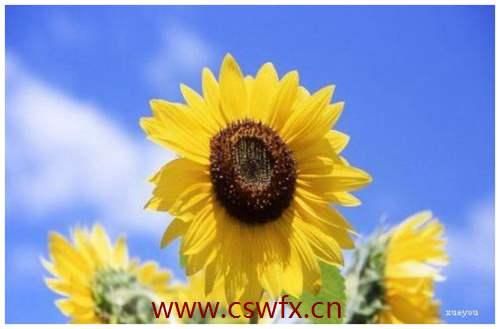 描写向日葵的优美句子