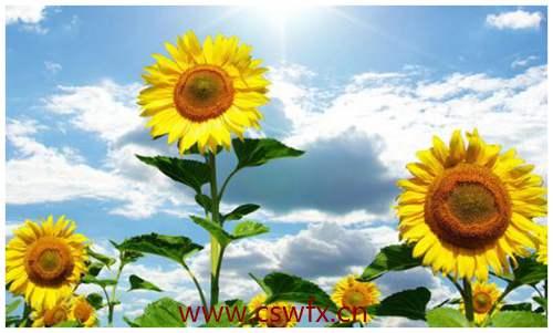 描写太阳和向日葵的句子