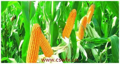 描写玉米地的优美句子