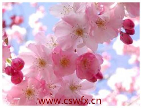 描写樱花盛开的优美句子