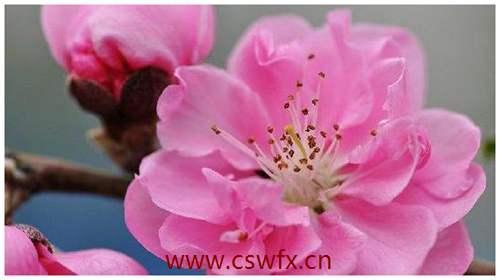 描写春天雨后桃花的句子