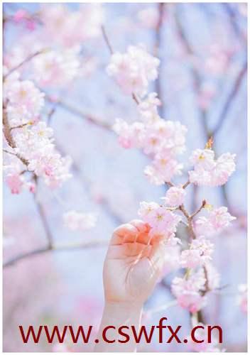 描写樱花的优美句子