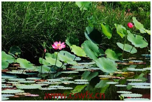 描写荷花池塘的优美句子