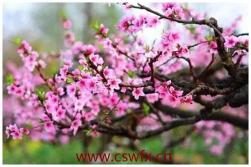 描写春天桃花优美句子