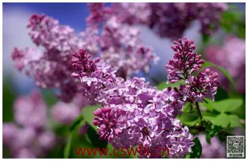 描写秋天的紫丁香句子