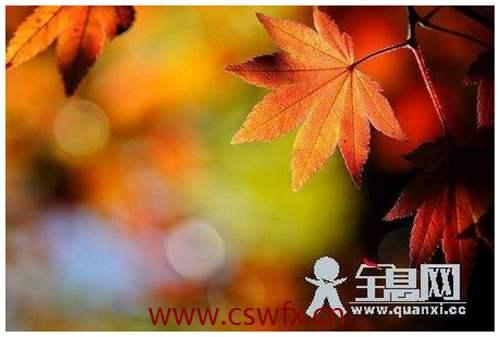 描写秋季的枫叶的句子 句子大全 第2张