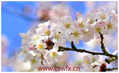 描写樱花盛开的优美句子 句子大全 第2张