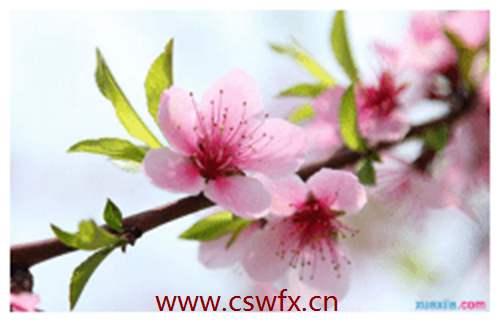 描写春天和桃花的句子 句子大全 第2张