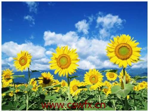 描写向日葵优美的句子 句子大全 第2张