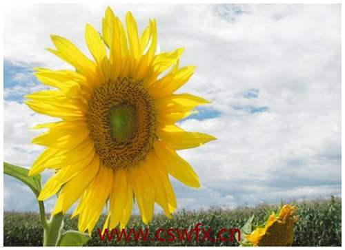 描写向日葵优美的句子 句子大全 第3张
