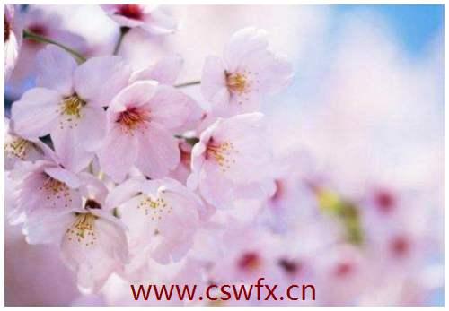 描写樱花盛开的优美句子 句子大全 第3张