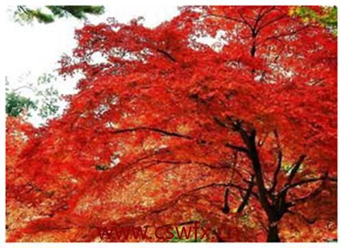 描写秋季的枫叶的句子 句子大全 第3张